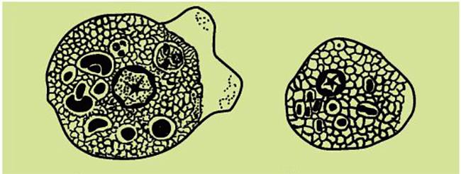 Виды амебы