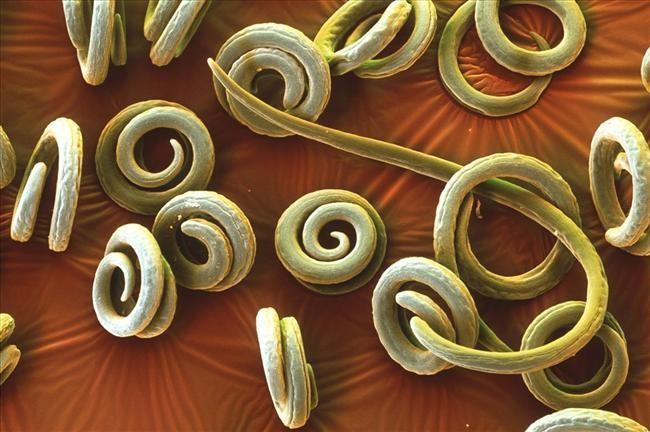 Развитие паразита в организме