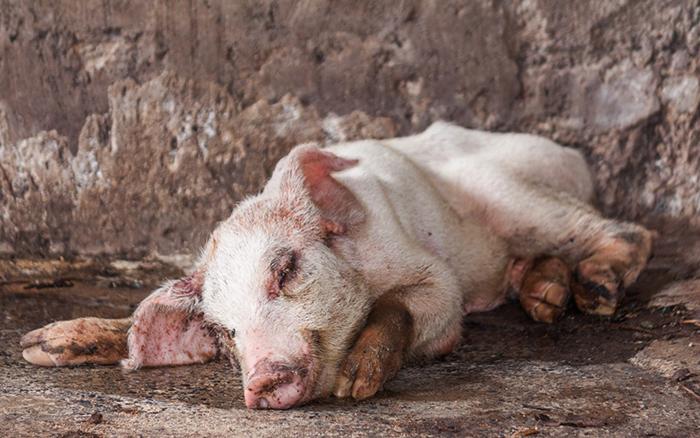 Симптомы у свиньи