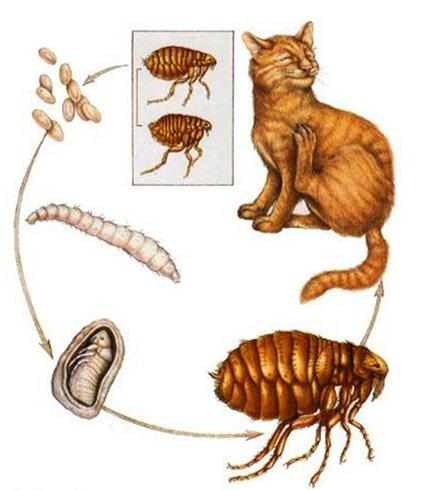 Цикл развития у кошки