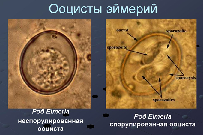 Ооцисты эймерий