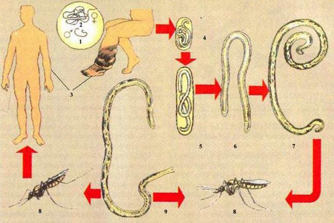 Жизененый цикл паразита