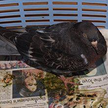 Кокцидиоз у голубей: причины, симптомы и лечение