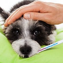 Лептоспироз у животных: причины, диагностика и вакцинация