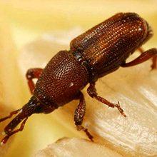 Червяки и насекомые в крупе: что это может быть и как избавиться