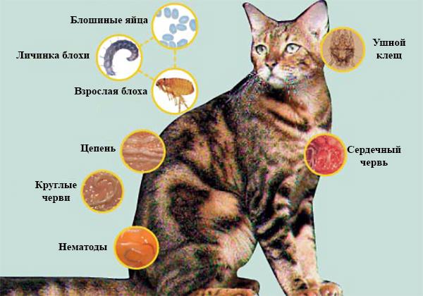 Паразиты кошки