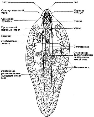 Строение печоночного сосальщика