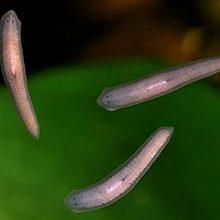 Белая планария: что это, размножение и цикл развития