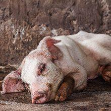 Аскаридоз свиней: причины появления, симптомы и лечение