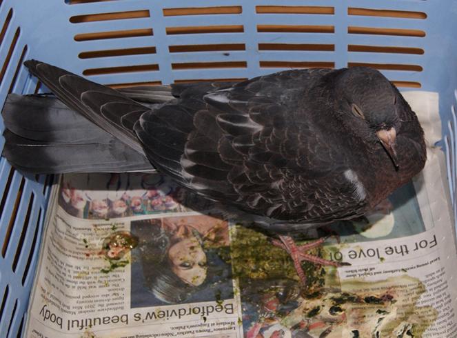 Симптомы у голубя