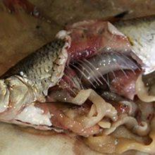 Солитер в рыбе: как выглядит и можно ли есть такую рыбу