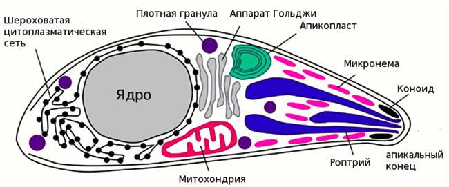Структура Toxoplasma gondii