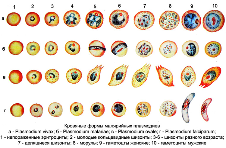 Цикл малярийного плазмодия