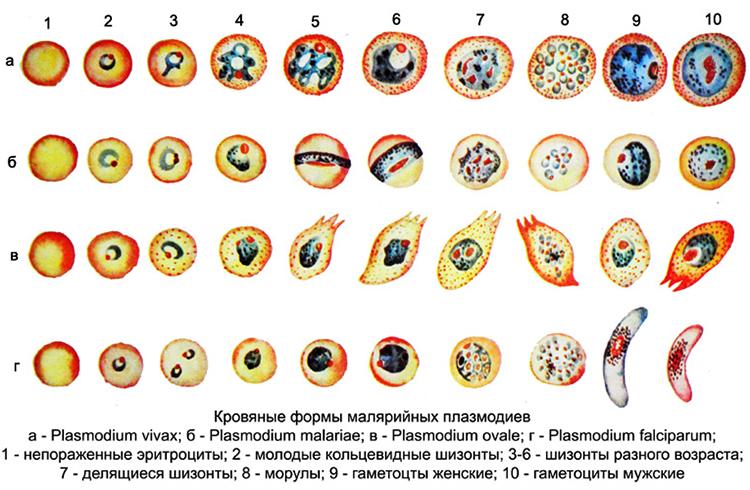 Виды малярийного плазмодия