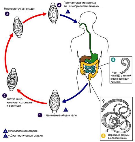 Жизненный цикл власоглава