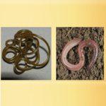 Чем кольчатые черви отличаются от круглых