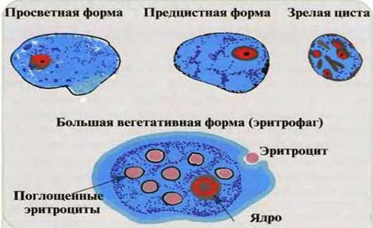 Формы амебы