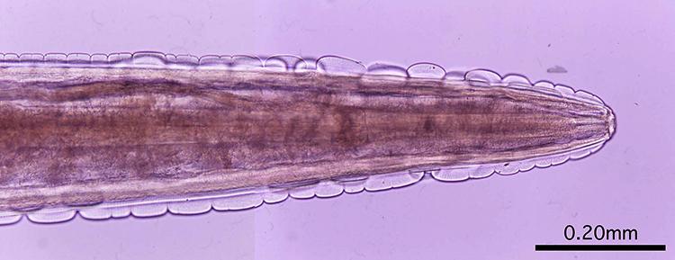 Gongylonema pulchrum