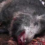 Болезни и паразиты диких кабанов опасные для человека