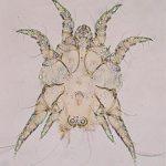Саркоптоидозы животных: что это, симптомы и лечение