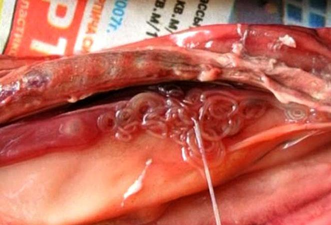 Сибирская двуустка в рыбе