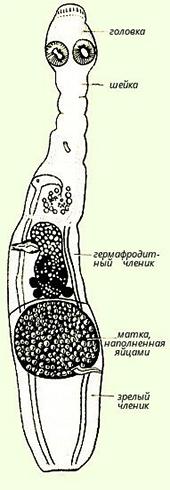 Строение альвеококка