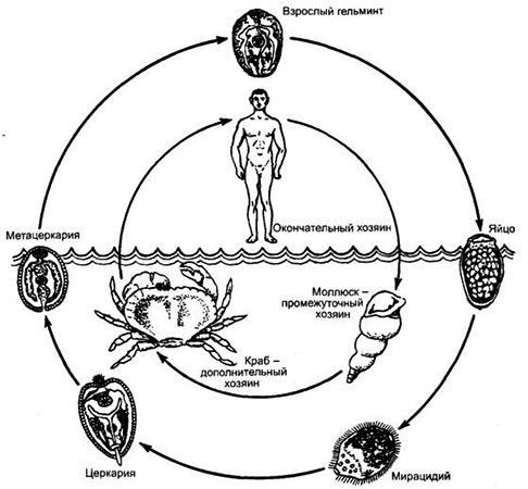 Жизненный цикл легочного сосальщика