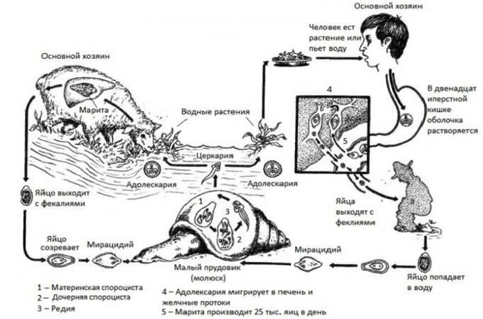 Жизненный цикл печеночного сосальщика