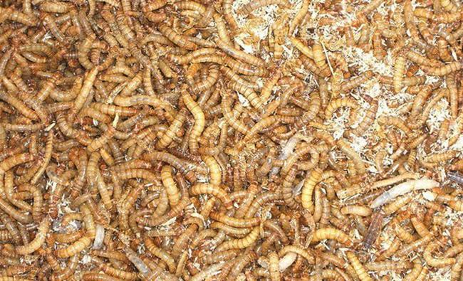 Много мучных червей