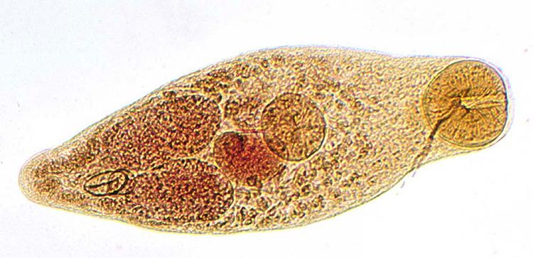 Nanophyetus salmincola