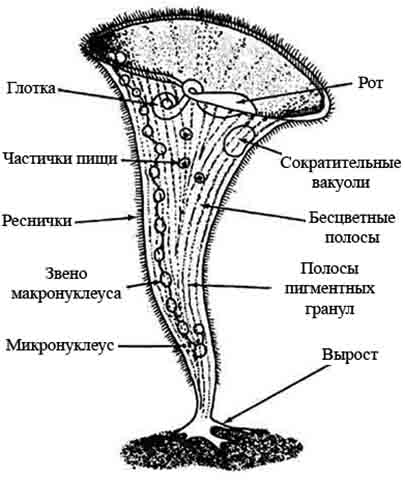 Инфузория трубач — строение