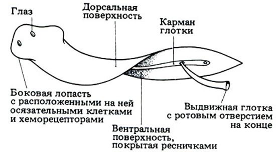 Строение ресничного червя