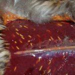 Какие паразиты могут присутствовать в мясе утки