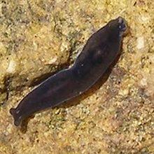 Черная планария: что это, размножение и цикл развития
