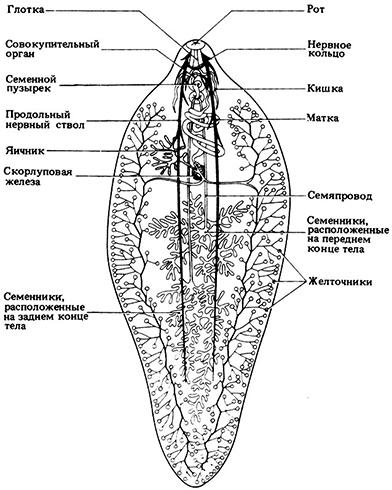 Строение трематоды